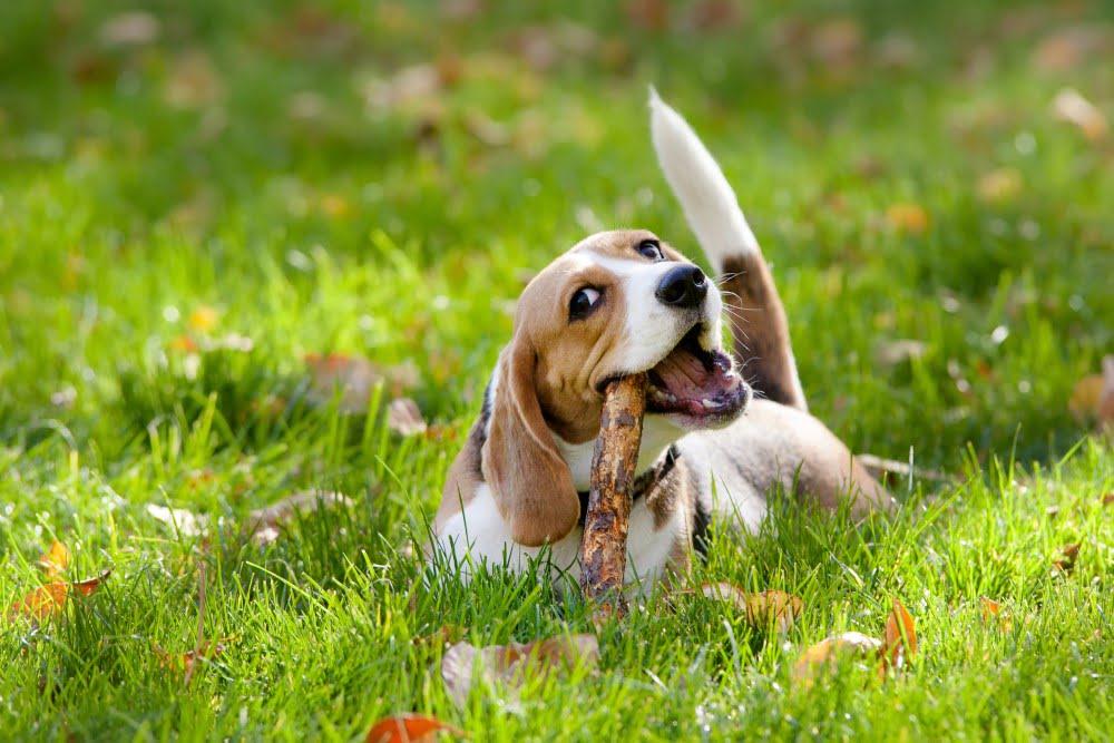 Hund der bider i en gren